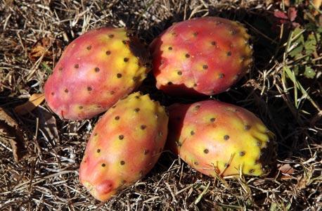 Figues de Barbarie après récolte, l'huile est extraite par pression à froid des graines