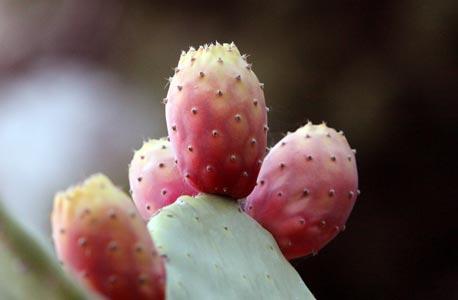 Figues de barbarie sur la plante
