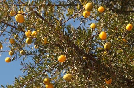 Fruits ou drupes de l'arganier